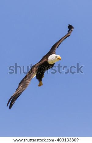 Bald Eagle scything through the air. A majestic bald eagle creates a diagonal shape as it cuts through the air. - stock photo
