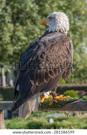 bald eagle sitting on fence - stock photo