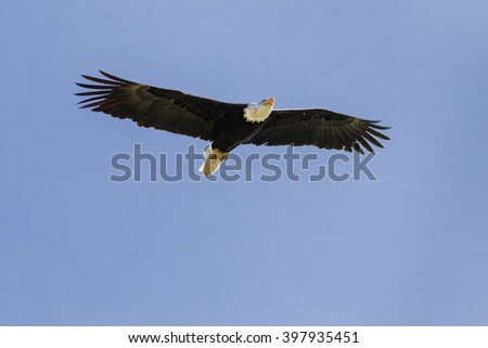 Bald Eagle soaring high. A splendid bald eagle spreads its wings as it soars through a clear blue sky. - stock photo