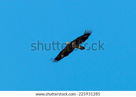 Bald Eagle soaring over lake - stock photo