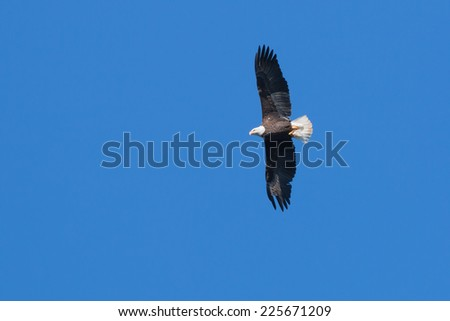 Bald Eagle soaring over Lake Jordan - stock photo