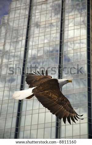 bald eagle soaring with glass building reflection - stock photo