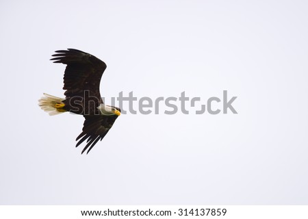 Bald eagle soaring with wings spread through the air. - stock photo