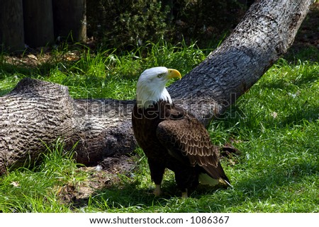 Bald eagle standing by a fallen tree. - stock photo