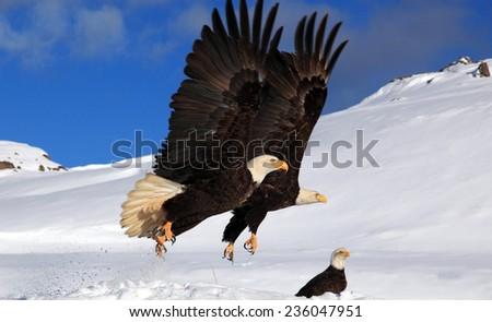 Bald Eagle synchronized flight - stock photo