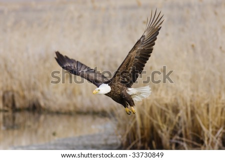 Bald Eagle taking off to go search for food at Farmington Bay, UT
