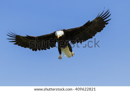 Bald Eagle watching its target. A majestic bald eagle prepares to descend upon its target. - stock photo