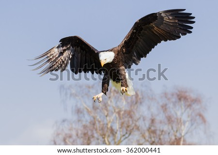 Bald eagle with a purpose. A splendid bald eagle extends its talons as it approaches its target. - stock photo