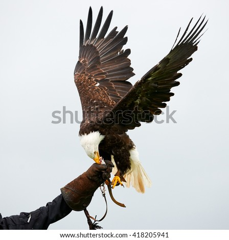 Bald eagle with outstretched wings in a falconry show - stock photo