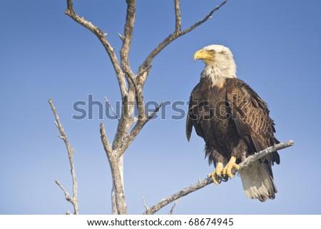 Bald Eagle with pride. Latin name -Haliaeetus leococephalus. With copy space. - stock photo