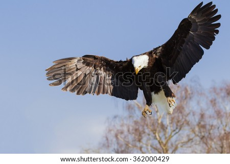 Bald eagle with wings spread. A magnificent bald eagle spreads its wings wide as it homes in on its target. - stock photo