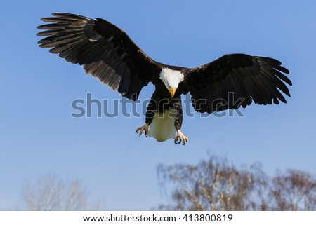 Bald Eagle with wings spread wide. A majestic bald eagle shows the full extent of its wings as it descends from a clear blue sky. - stock photo
