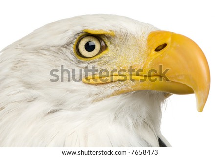 Bald Eagle (22 years) - Haliaeetus leucocephalus in front of a white background - stock photo