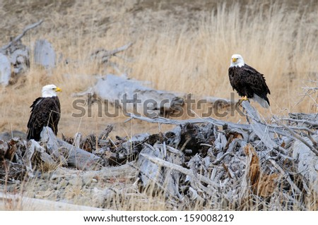 Bald Eagles - stock photo
