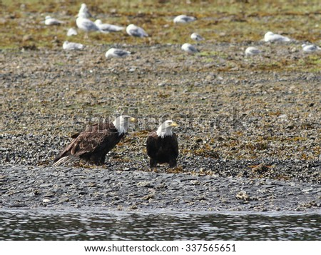 Bald Eagles on the Beach
