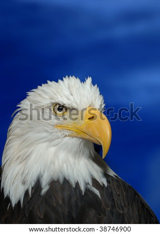 Bald Headed Eagle - stock photo