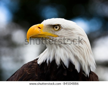 Bald Headed Eagle, close up shot with blurred background - stock photo