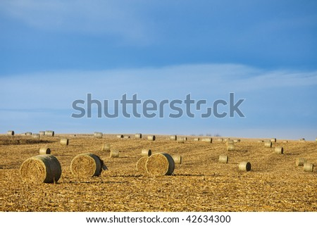 baled corn in field with room in sky for copy - stock photo