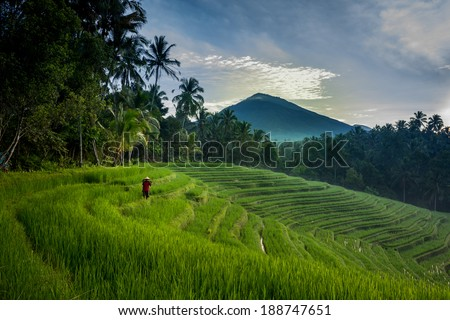 BALI - APRIL 12, 2014: An unidentified farmer checks his growing paddy plants on the terraced rice fields in Bali, Indonesia. Rice is an important food source and grows well on fertile volcano soil. - stock photo