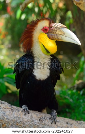 BALI, INDONESIA - NOVEMBER 11: Wreathed hornbill in Bali Bird Park at November 11, 2014 in Bali, Indonesia. This birdpark has a unique collection of birds and is one of the biggest in all Asia. - stock photo