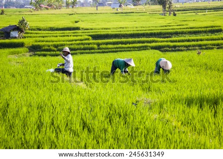 BALI, INDONESIA - SEPTEMBER 19: Farm workers work on a rice fields and taking care of young rice in Bali, Indonesia on September 19, 2014 - stock photo