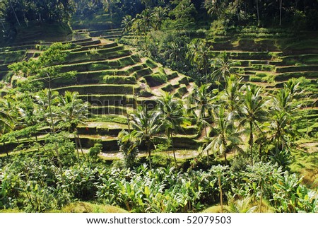 Bali rice camp - stock photo