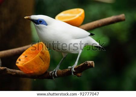 Bali Starling (Leucopsar rothschildi) eating fruit - stock photo