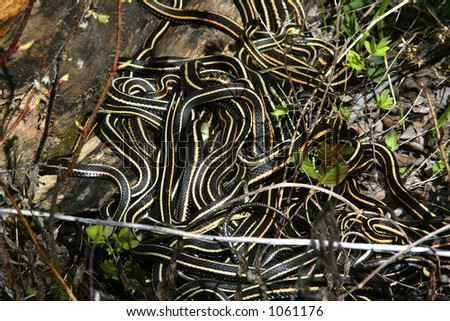 Ball of Snakes - stock photo