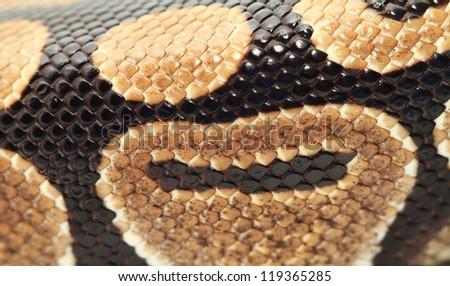 Ball Python close up (Python Regius) - stock photo