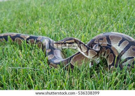 Ball Python in the green grass