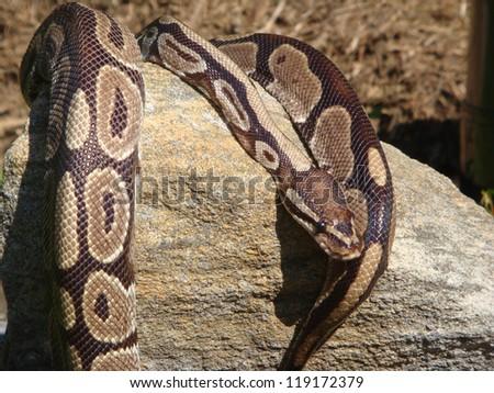 Ball Python Lying on Rock - stock photo