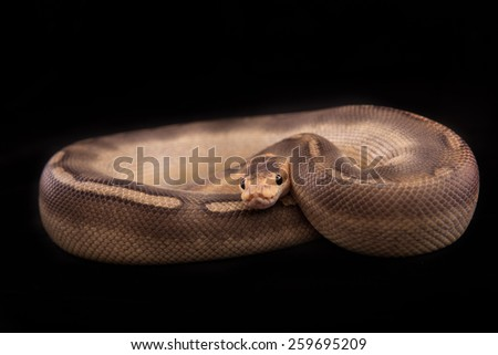 Ball python or Royal python on black background, Champagne morph or mutation - stock photo