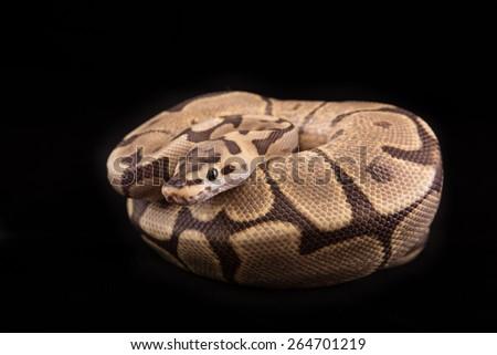 Ball python or Royal python on black background, Fire Spider morph or mutation - stock photo