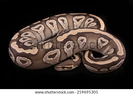 Ball python or Royal python on black background, Mojave morph or mutation - stock photo