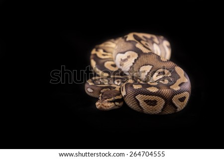 Ball python or Royal python on black background, Pastave Yellow Belly morph or mutation - stock photo