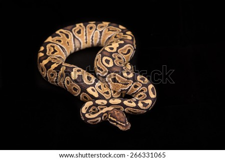 Ball python or Royal python on black background, Special morph or mutation - stock photo