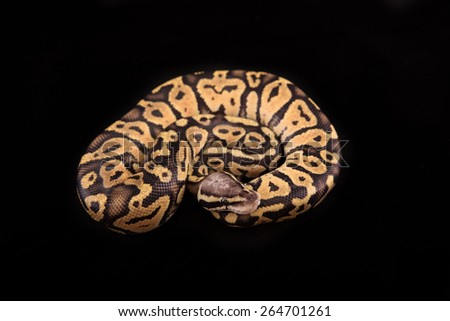 Ball python or Royal python on black background, Vanilla Pastel morph or mutation - stock photo