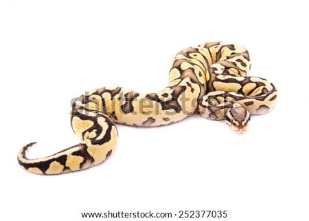 Ball python or Royal python on white background, Firefly morph - stock photo