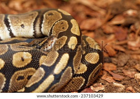 Ball Python (Python regius) - close up photo - stock photo
