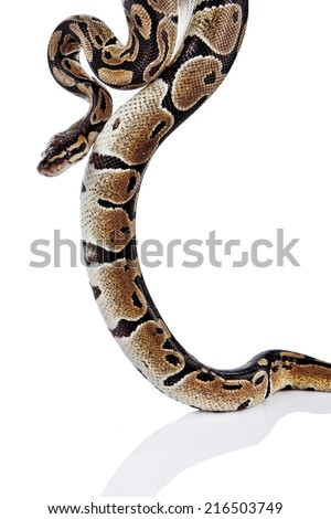Ball Python with white background
