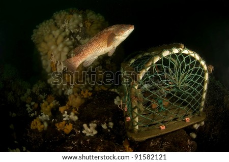 Ballan wrasse swimming over lobster pot - stock photo
