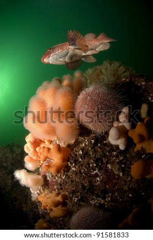 Ballan wrasse swimming over Scottish reef - stock photo
