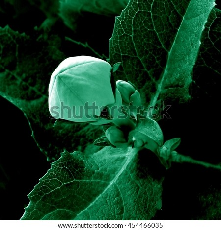 Balloon flower bud.Spectacular indoor plant.Quadratic format. - stock photo