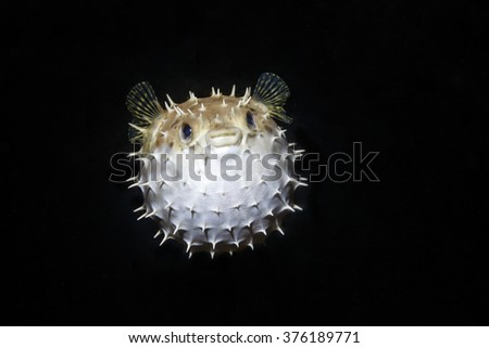 Balloon Puffer fish Diodon holocanthus puffed up close up - stock photo