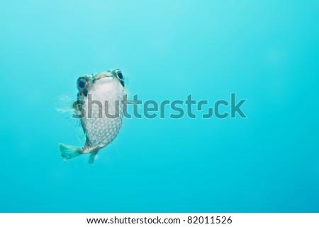 balloonfish - stock photo