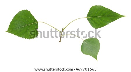 Balsam poplar, Populus balsamifera twig isolated on white background
