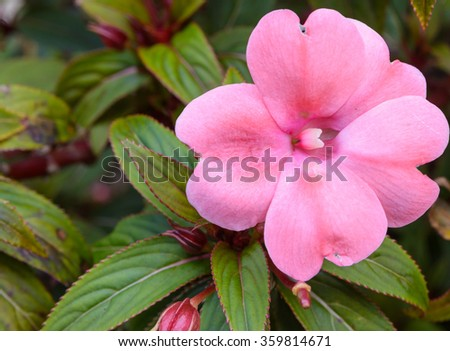 Balsamina flower is blooming in a garden - stock photo
