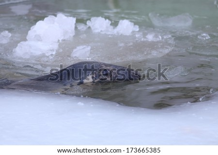 Baltic grey seal (Halichoerus grypus macrorhynchus) peeking out ice-hole