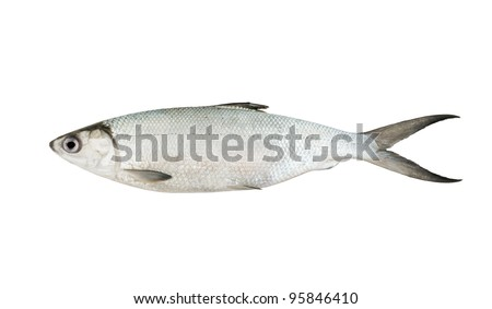 Baltic whitefish or cisco isolated on white