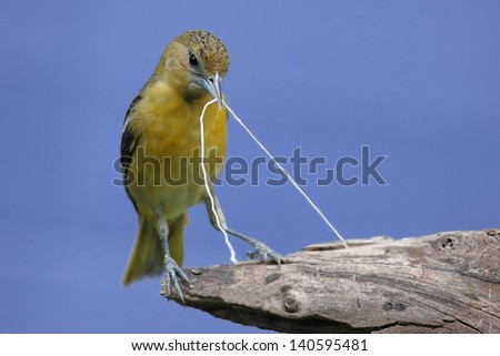 Baltimore Oriole (Icterus galbula) gathering string to build a nest